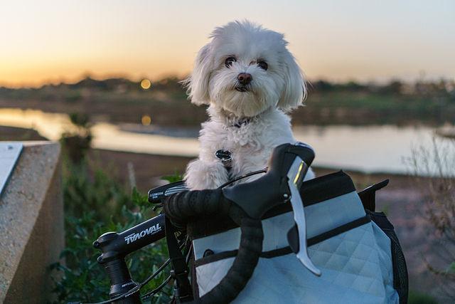El plan ideal para tu perro: ¡ir en una bicicleta con cesta!